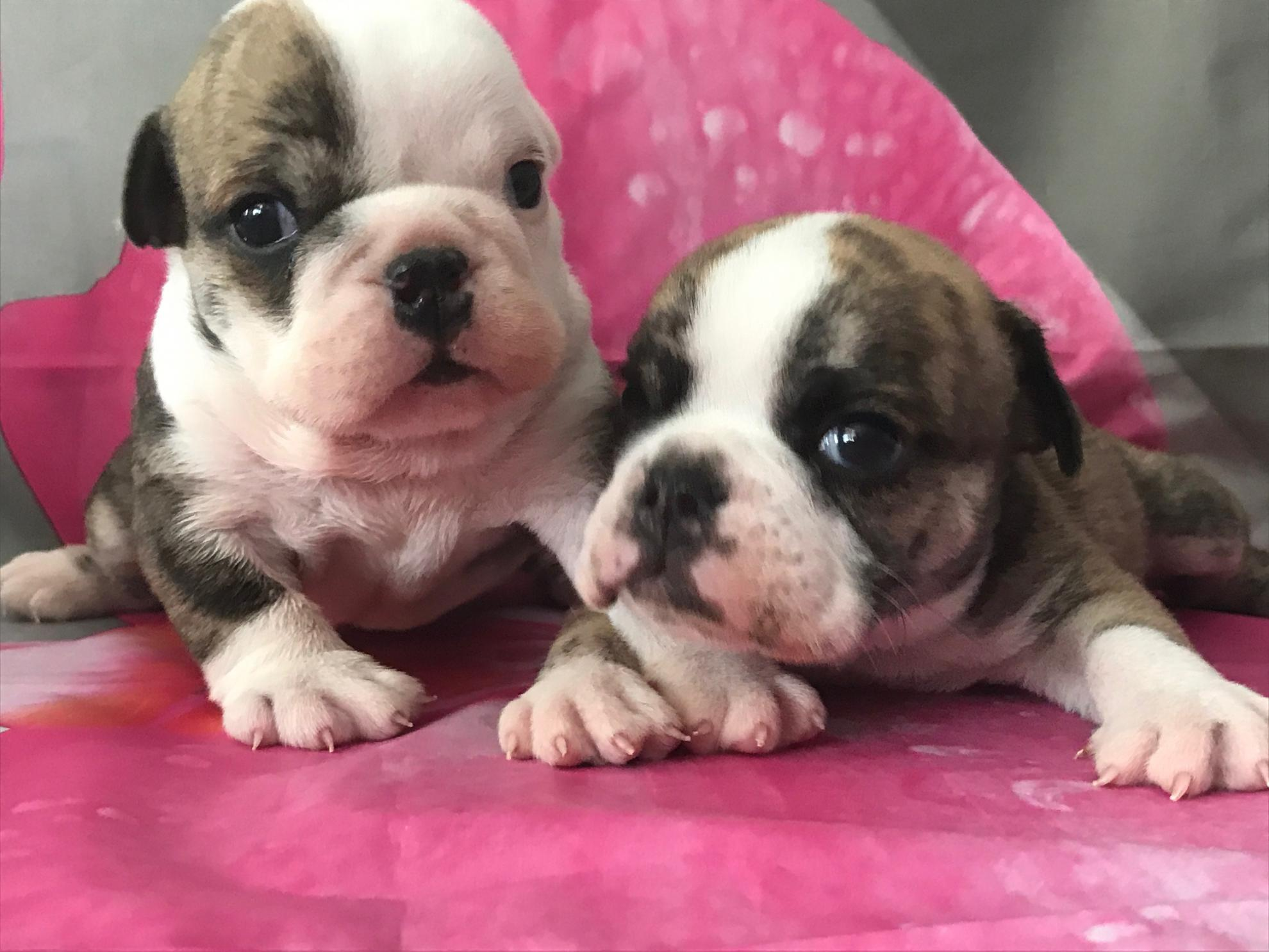Chiot Bulldog : 1  mâle - femelle 1 247202
