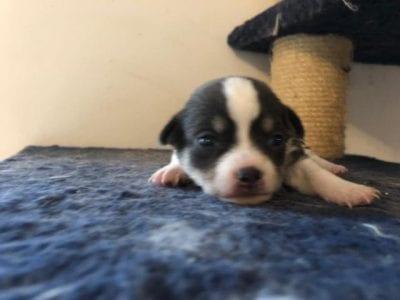 Chiot Chihuahua : 1  mâle – femelles 2 239370