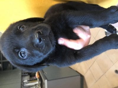 Chiot Labrador retriever : 6  mâles – femelles 2 238898