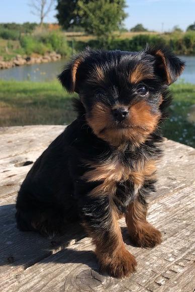Chiot Yorkshire terrier : 0  mâle - femelle 1 245736