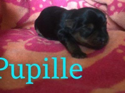 Chiot Yorkshire terrier : 0  mâle – femelles 4 248418