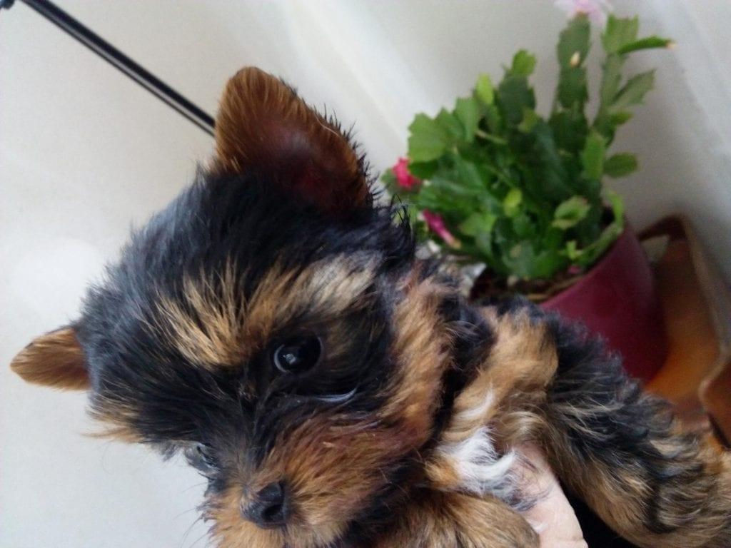 Chiot Yorkshire terrier : 2  mâles – femelle 1 241306