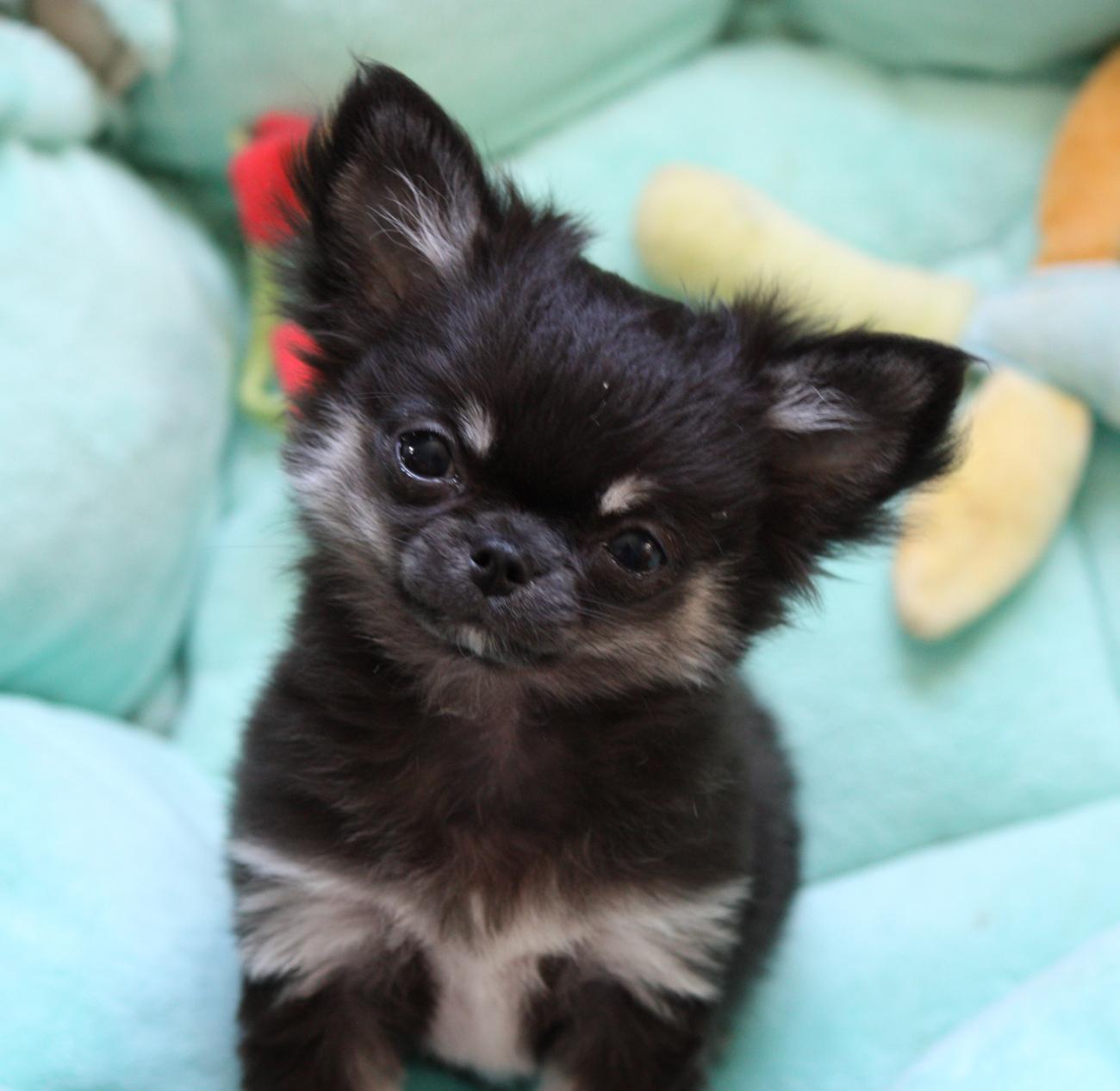 Chiot Chihuahua : 0  mâle - femelle 1 236911