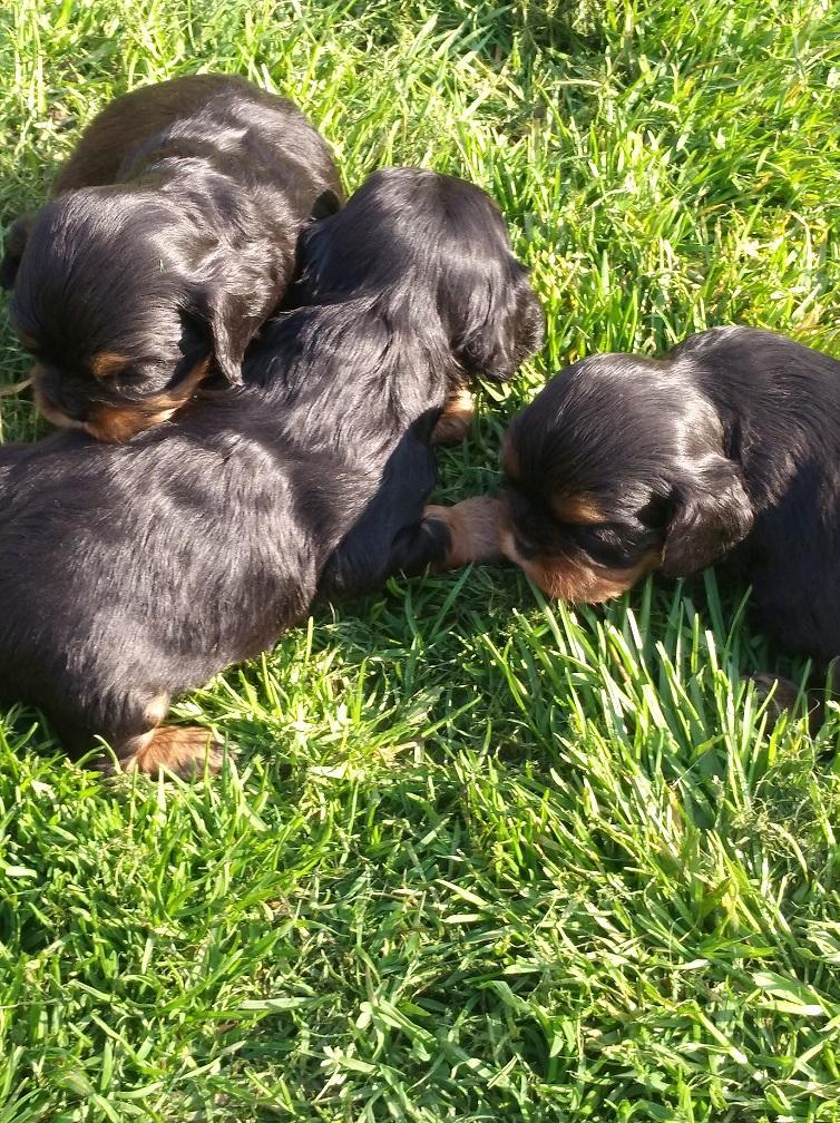 Chiot Cavalier king charles spaniel : 3  mâles – femelles 3 244093