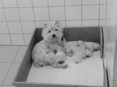 Chiot West highland white terrier : 4  mâles – femelles 2 244679