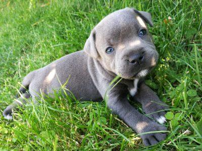 Chiot Staffordshire bull terrier : 6  mâles – femelle 1 247399