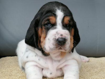 Chiot Basset hound : 0  mâle – femelles 2 247045
