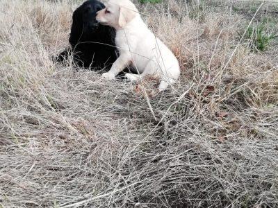 Chiot Labrador retriever : 1  mâle – femelles 4 247803