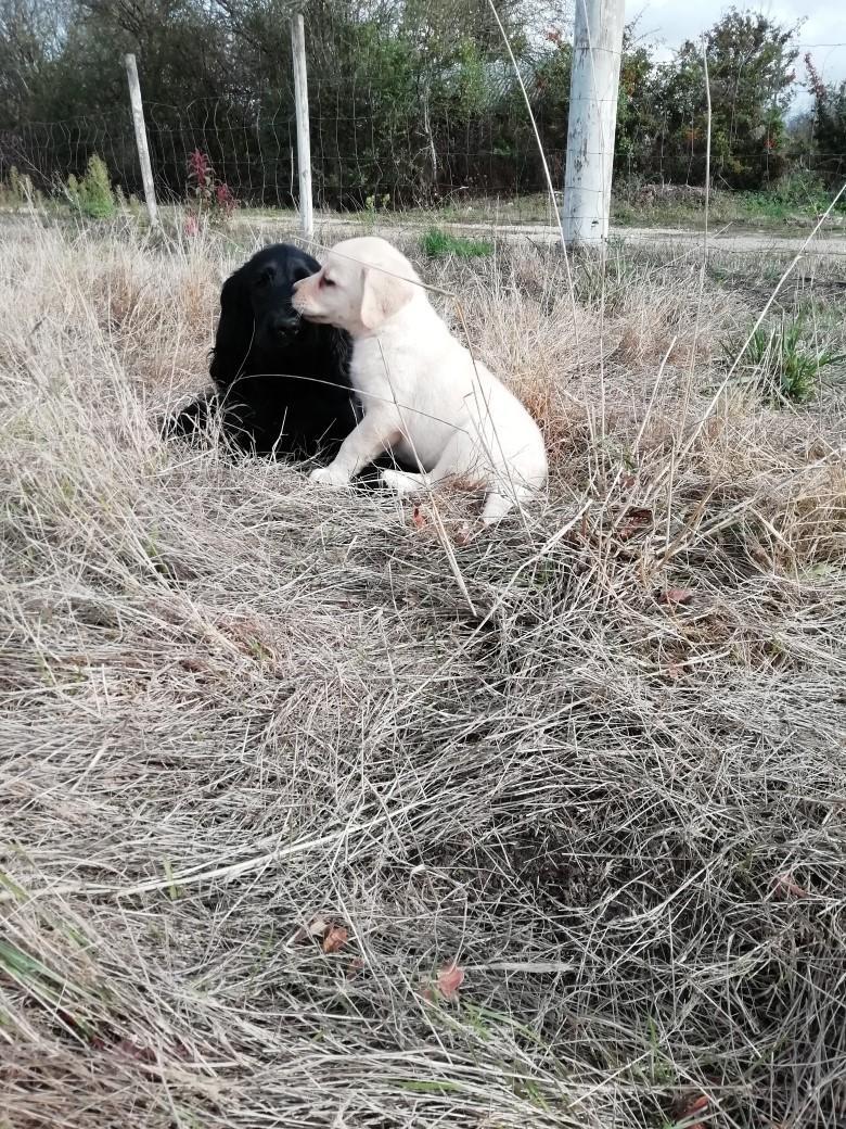 Chiot Labrador retriever : 1  mâle - femelles 4 247803