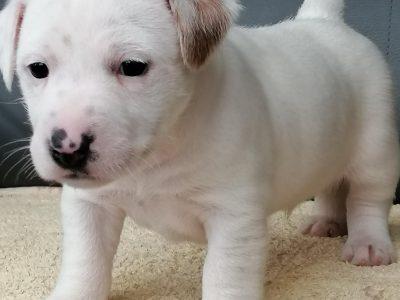 Chiot Jack russell terrier : 1  mâle – femelle 0 248574