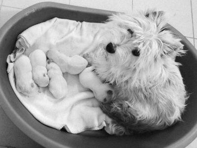 Chiot West highland white terrier : 1  mâle – femelles 5 250695