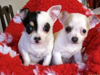 Chiot Chihuahua : 1  mâle – femelle 1 240116