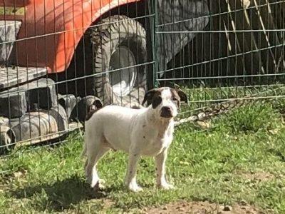 Chiot Staffordshire bull terrier : 1  mâle – femelle 0 241255