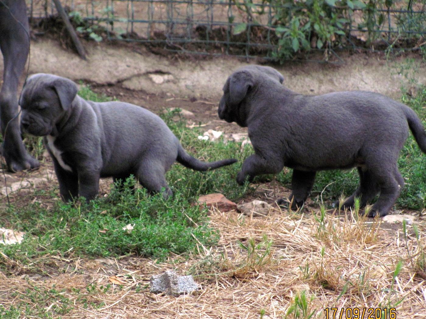 Chiot Cane corso : 1  mâle - femelle 0 241329