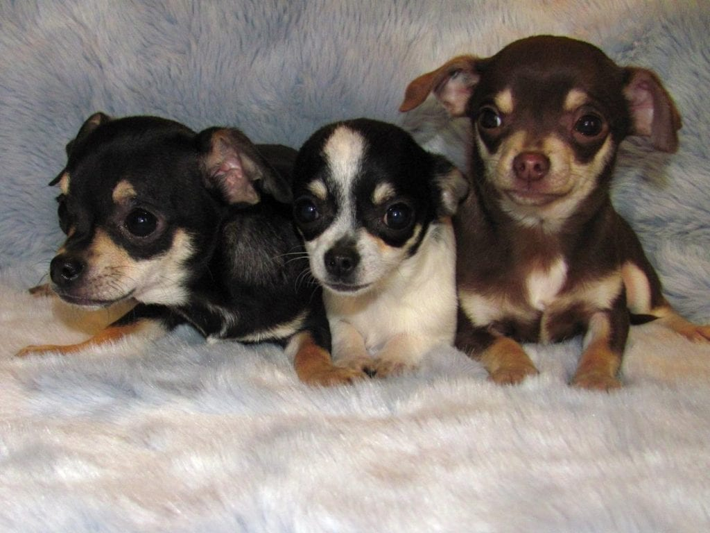 Chiot Chihuahua : 3  mâles – femelles 3 240891