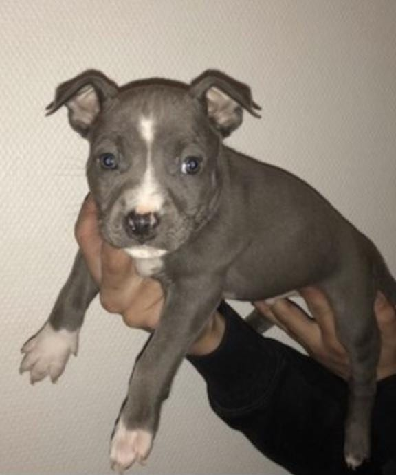 Chiot American staffordshire terrier : 6  mâles - femelles 2 240917