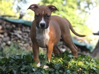 Chiot American staffordshire terrier : 4  mâles – femelles 5 236964