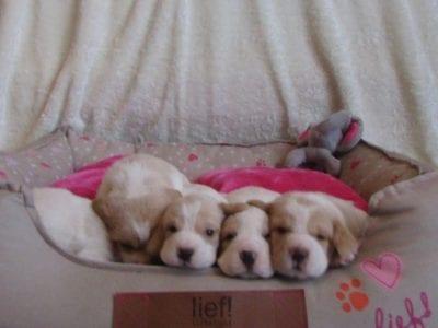Chiot Beagle : 5  mâles – femelle 0 240421