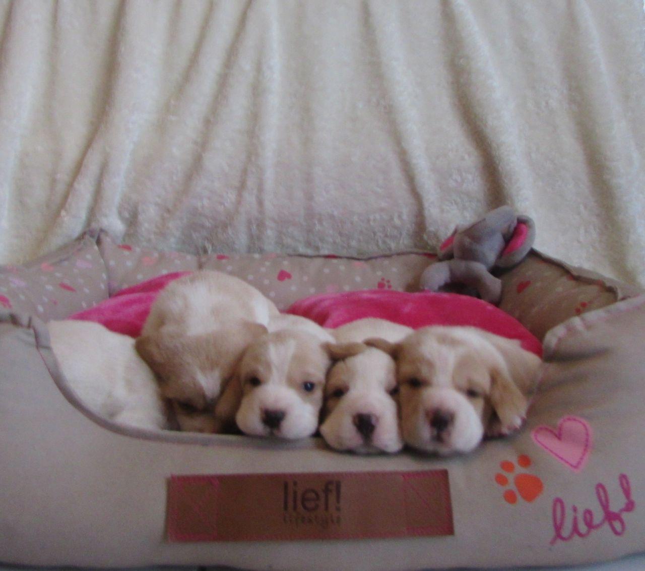 Chiot Beagle : 5  mâles - femelle 0 240421