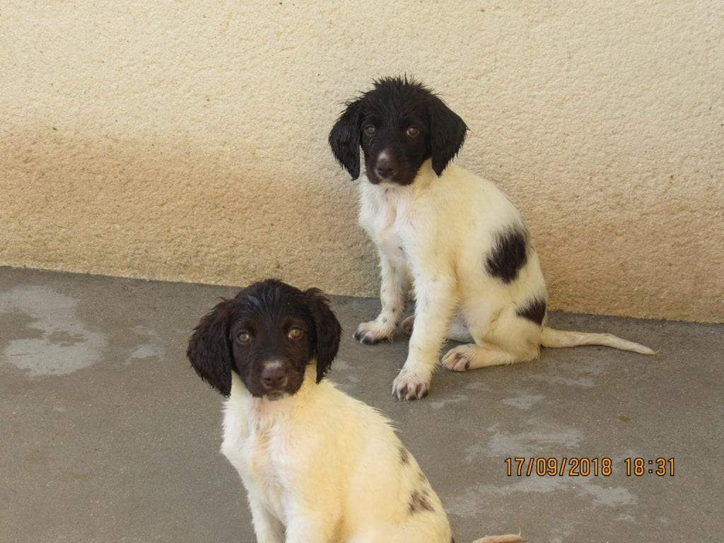 Chiot Petit Munsterlander : 1  mâle – femelles 2 236892