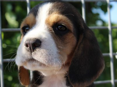 Chiot Beagle : 2  mâles – femelles 4 247473