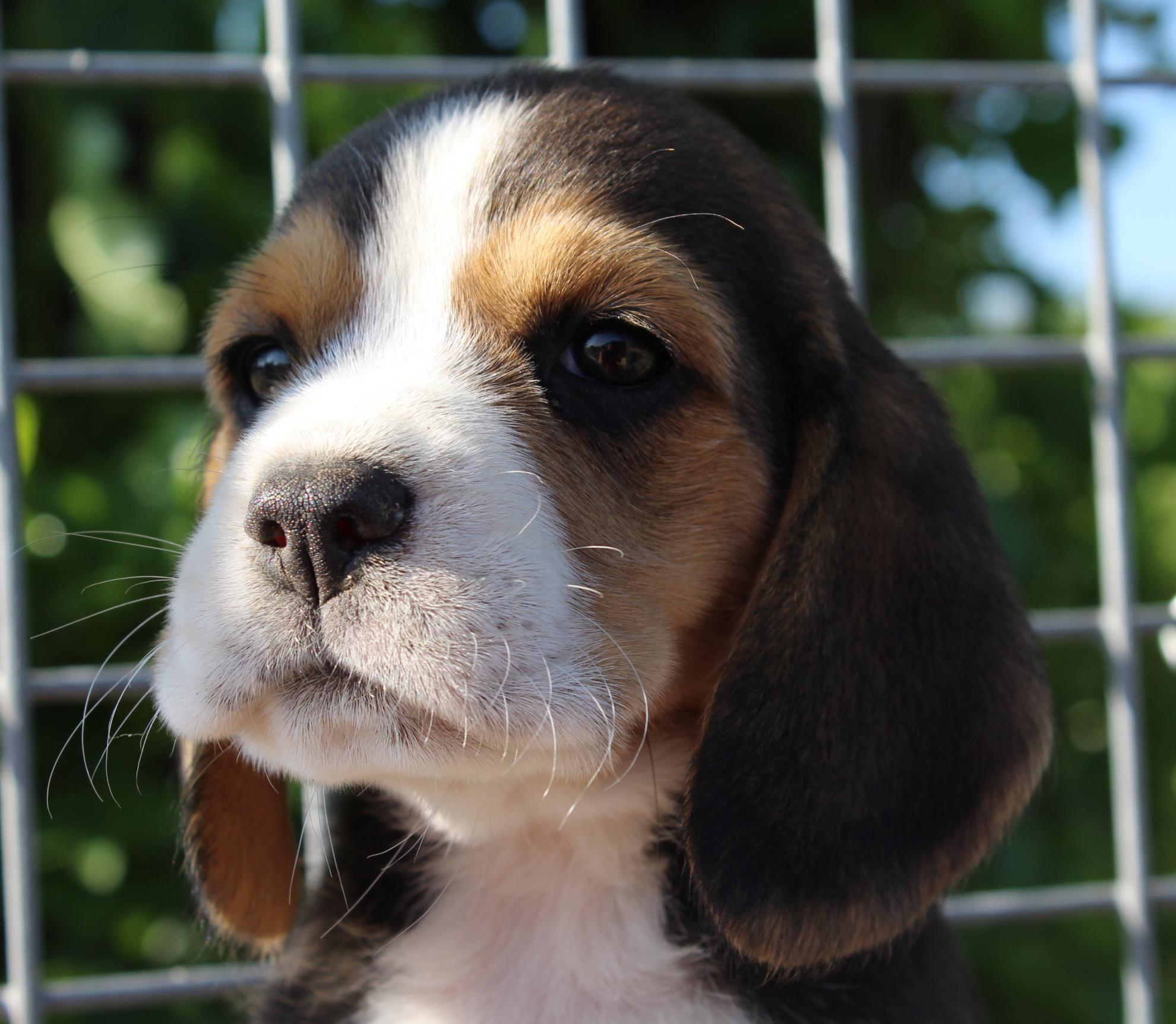 Chiot Beagle : 2  mâles - femelles 4 247473