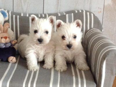 Chiot West highland white terrier : 1  mâle – femelles 3 247289
