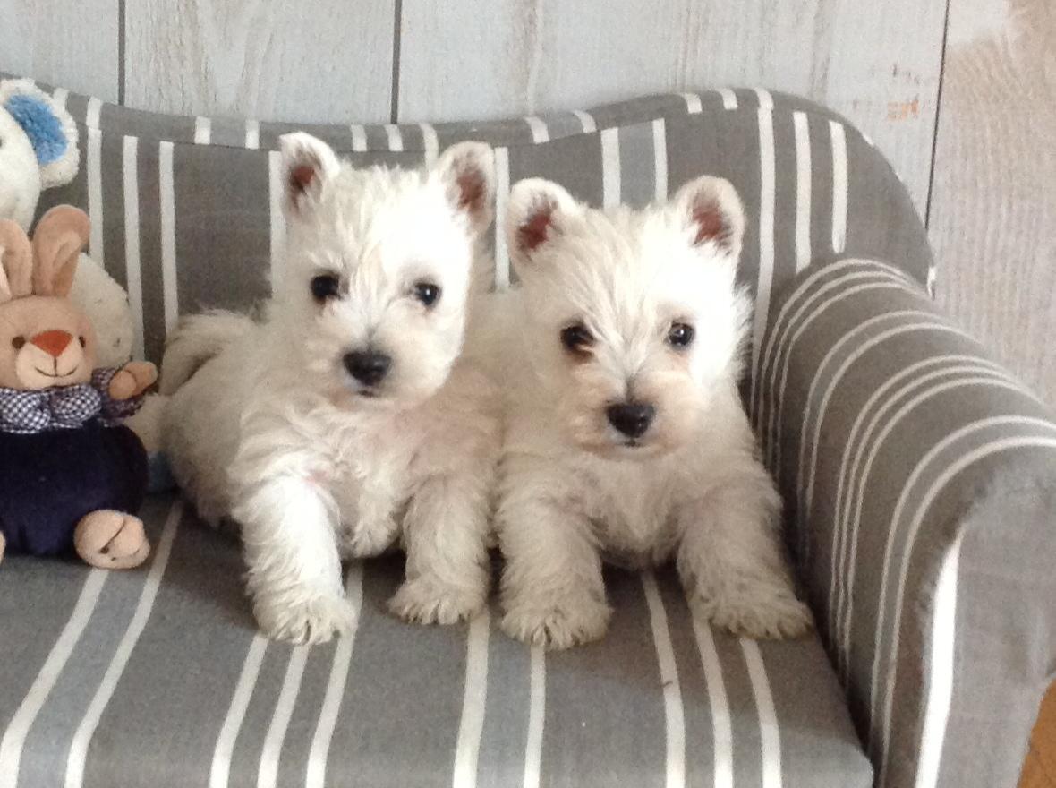 Chiot West highland white terrier : 1  mâle - femelles 3 247289