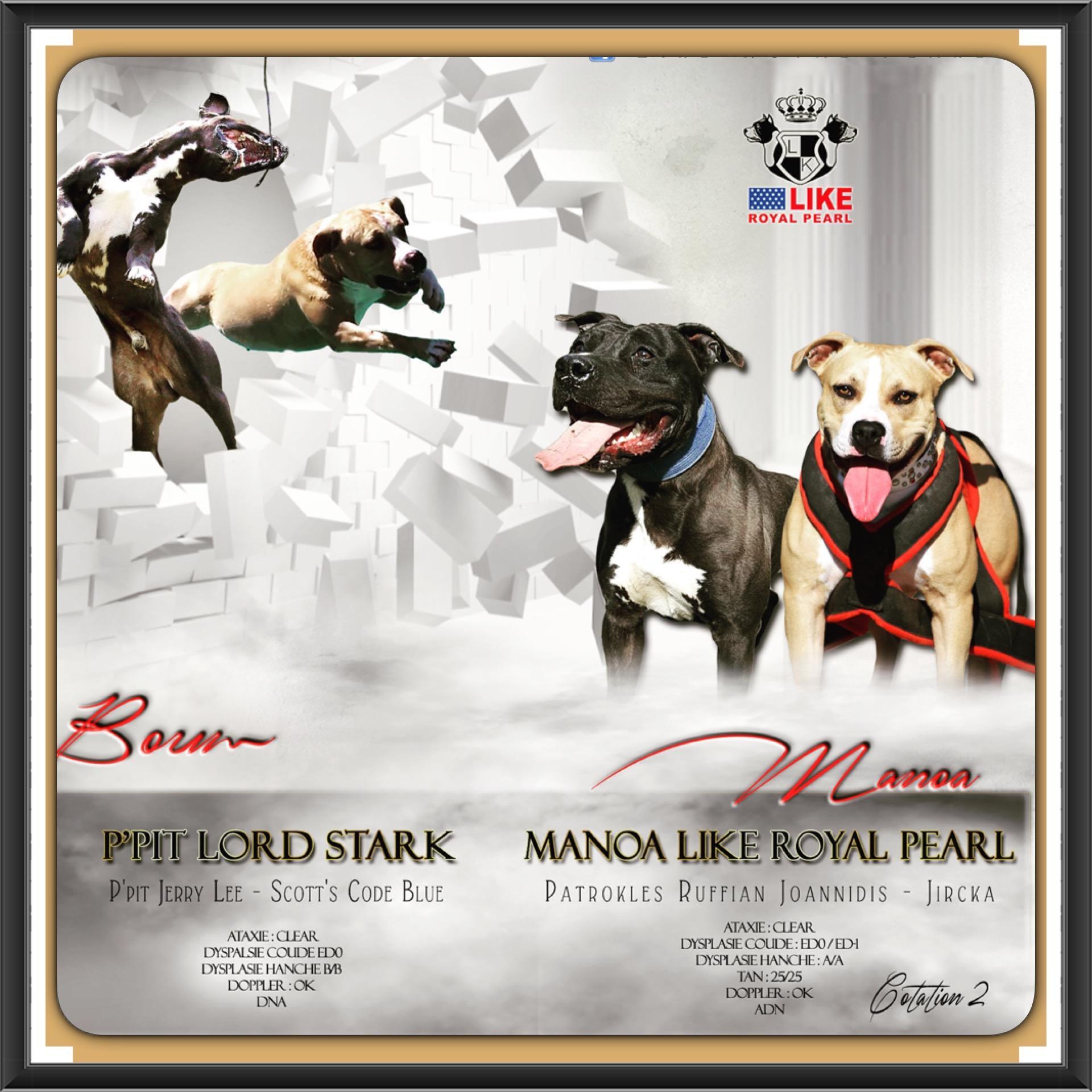 Chiot American staffordshire terrier : 5  mâles - femelles 7 240390