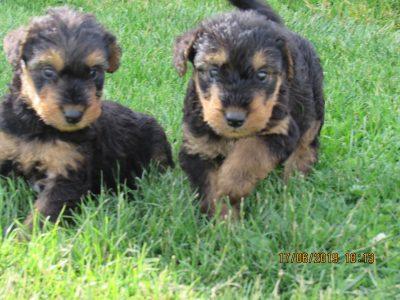 Chiot Airedale Terrier : 1  mâle – femelle 1 245606