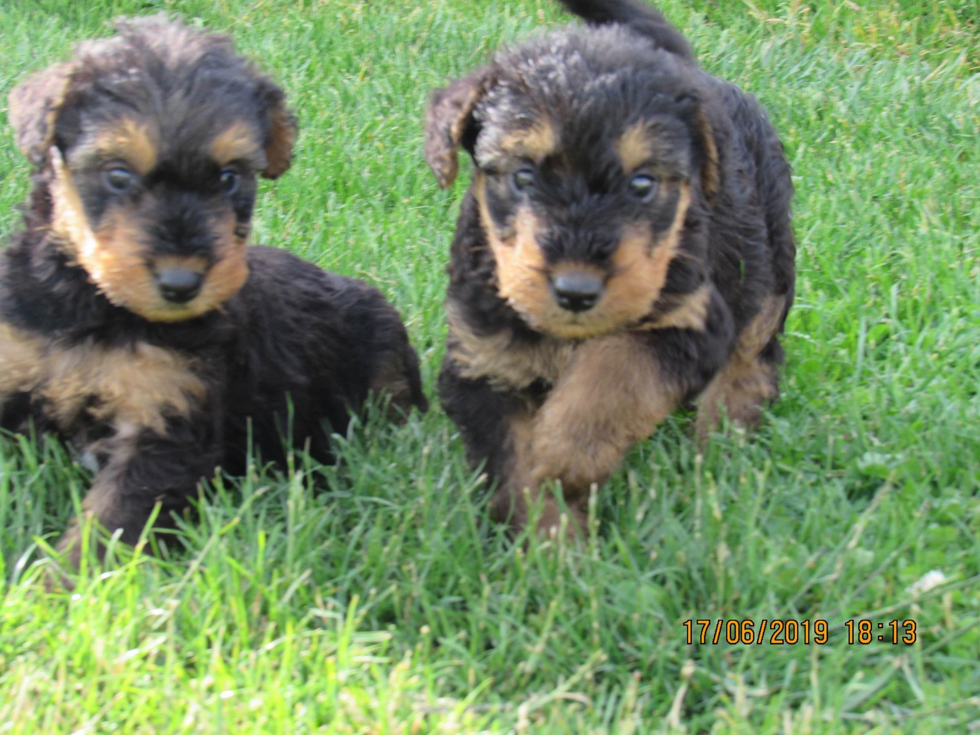 Chiot Airedale Terrier : 1  mâle - femelle 1 245606