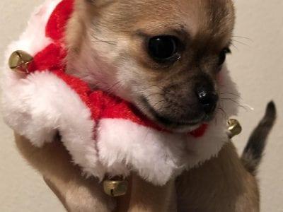 Chiot Chihuahua : 1  mâle – femelle 0 239843