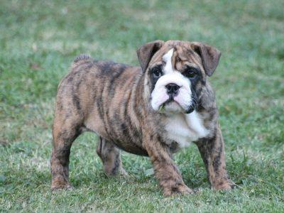 Chiot Bulldog : 0  mâle – femelle 1 247414