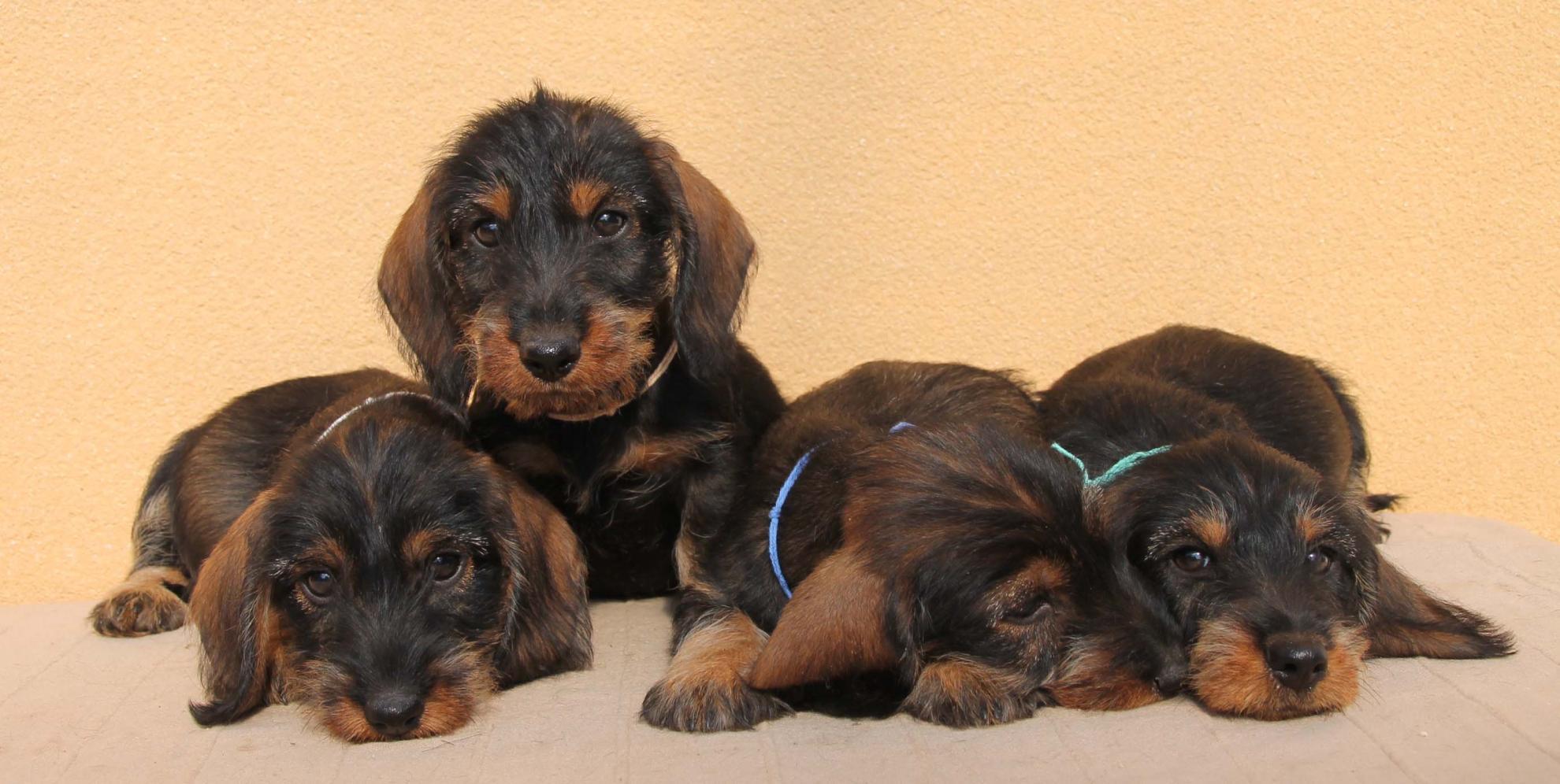 Chiot Teckel à poil dur : 4  mâles - femelle 1 236195