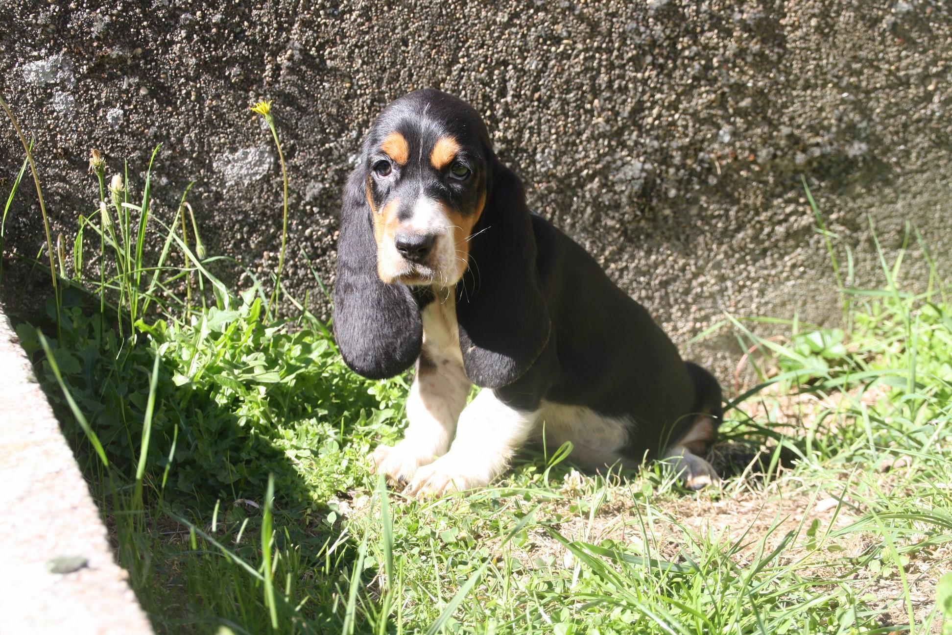 Chiot Basset hound : 3  mâles - femelles 4 244140