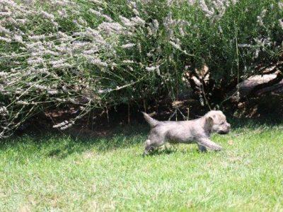 Chiot Cairn terrier : 2  mâles – femelles 2 248193