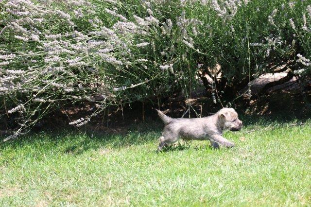 Chiot Cairn terrier : 2  mâles - femelles 2 248193