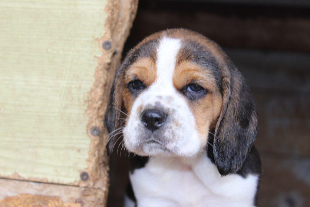 Chiot Beagle : 3  mâles – femelles 4 244875