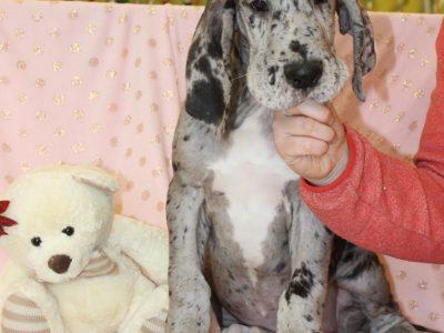 Chiot Dogue Allemand : 0  mâle – femelles 2 240608