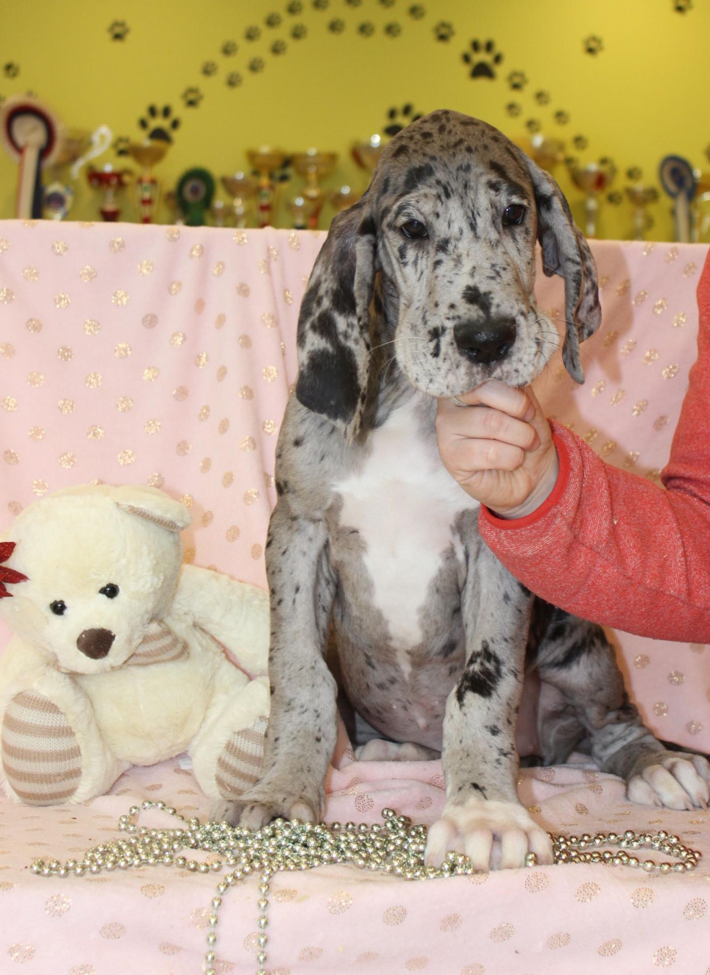 Chiot Dogue Allemand : 1  mâle - femelles 3 240608