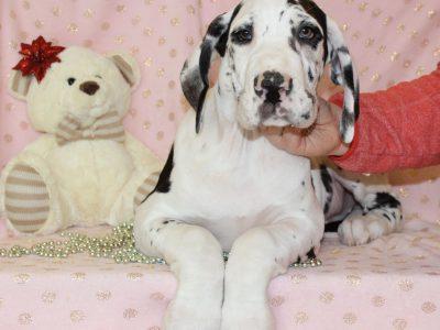 Chiot Dogue Allemand : 1  mâle – femelles 5 240607