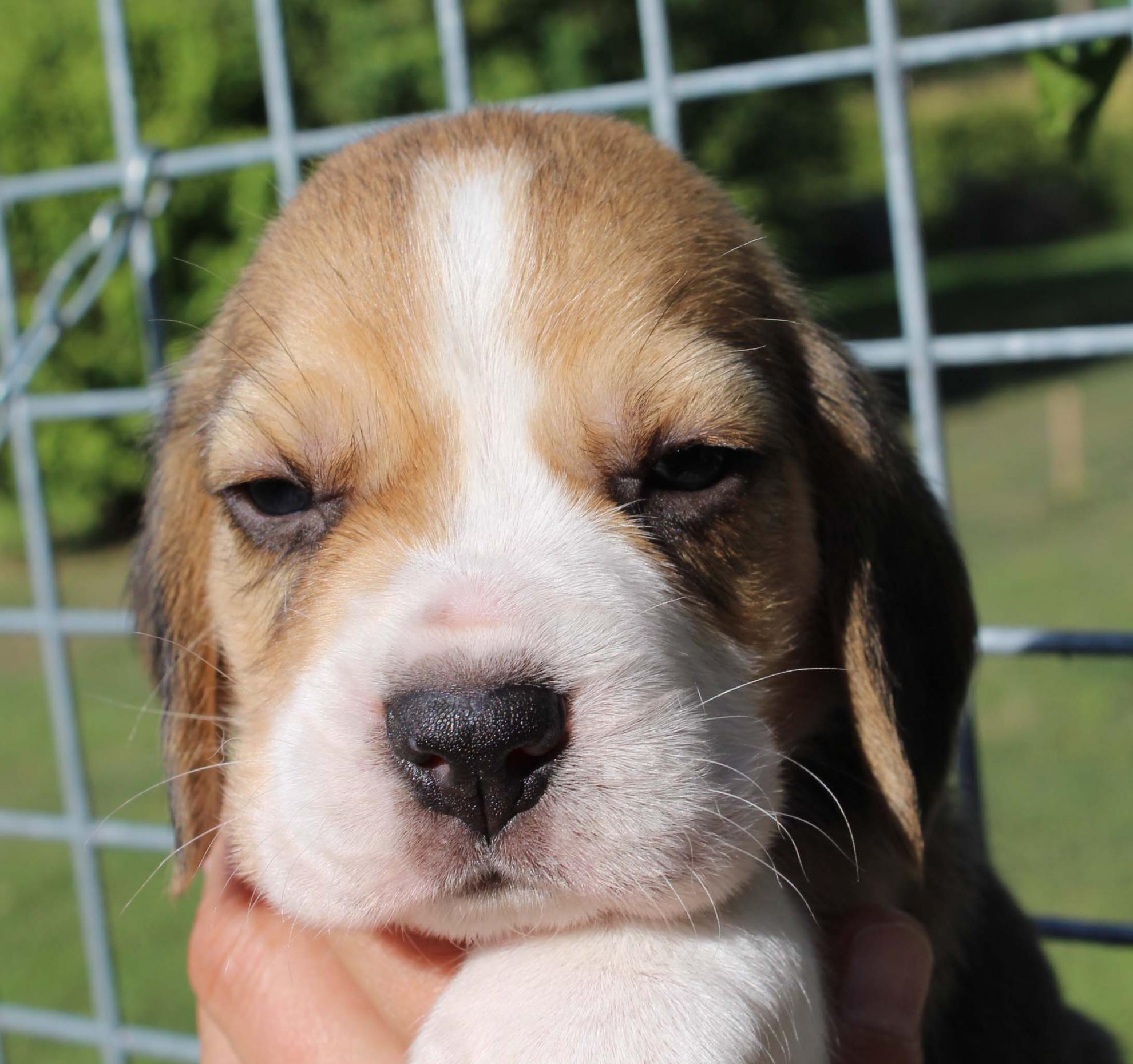 Chiot Beagle : 2  mâles - femelles 6 237702
