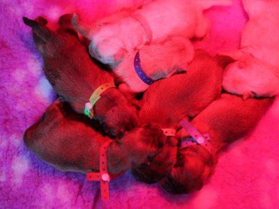 Chiot Chow Chow : 4  mâles – femelles 3 243648
