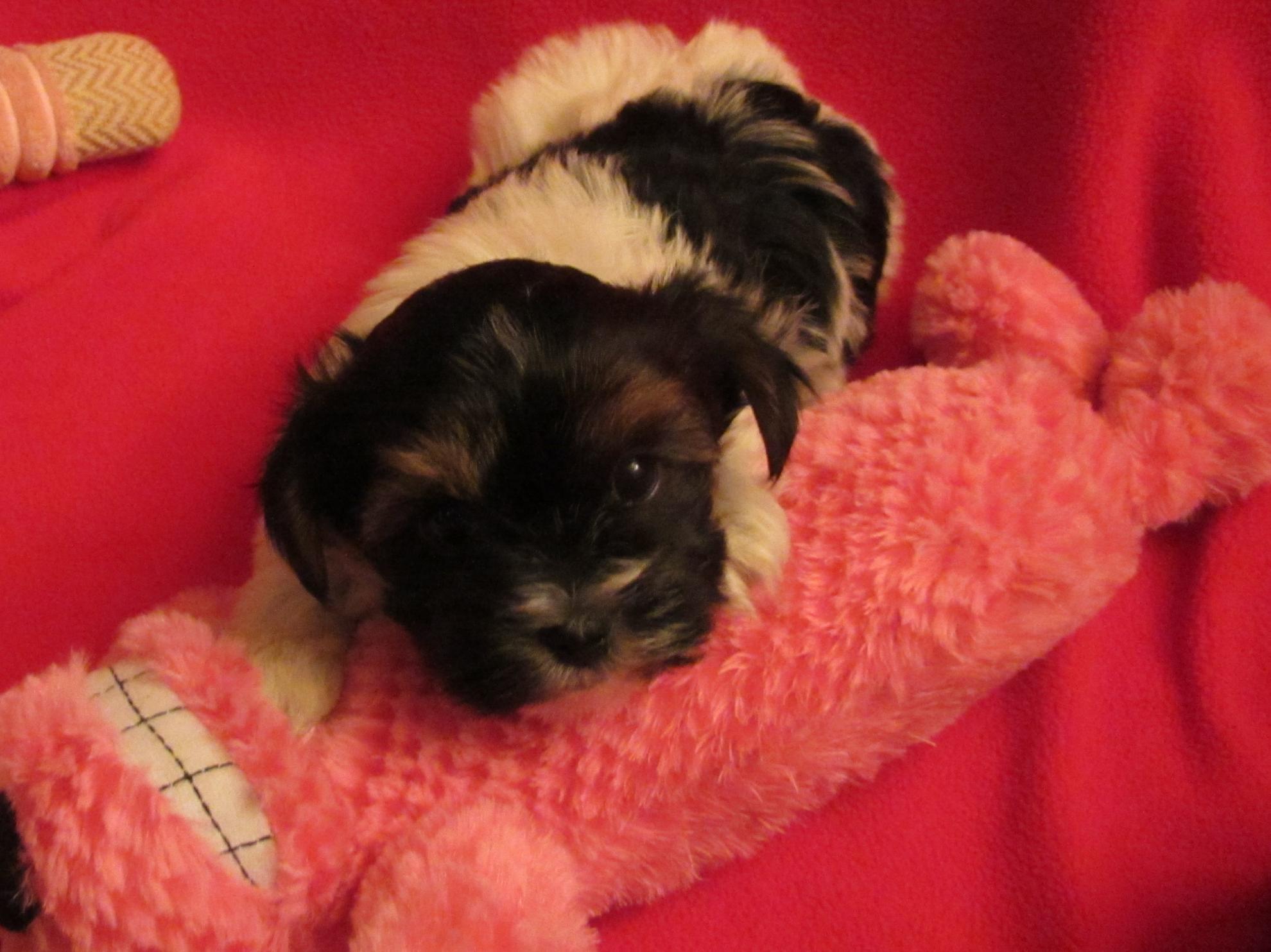 Chiot Yorkshire terrier : 3  mâles - femelles 2 240547