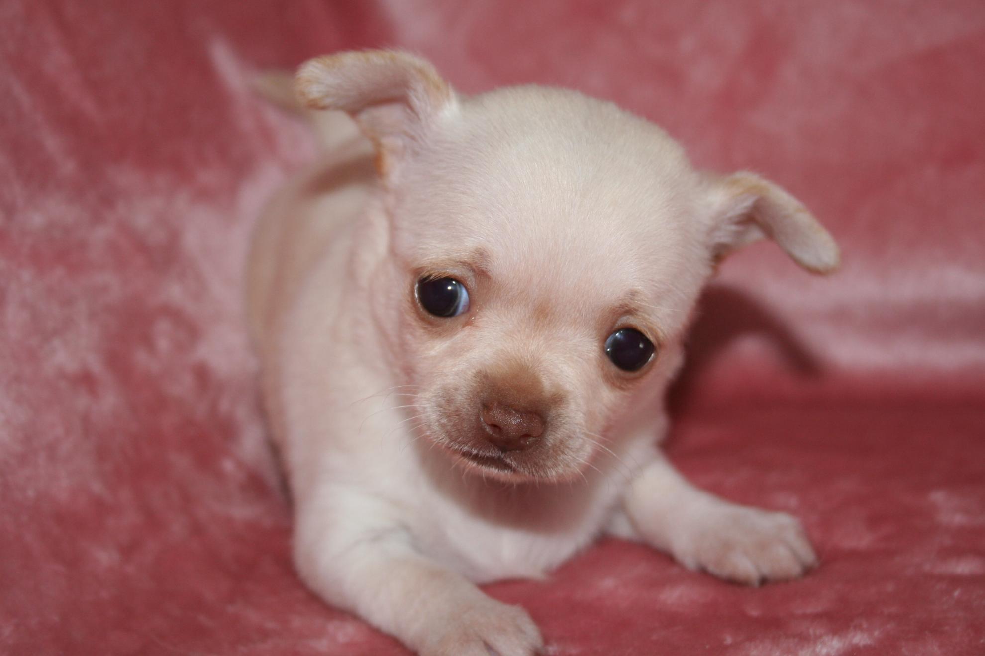 Chiot Chihuahua : 1  mâle - femelle 1 246625