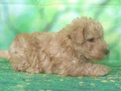 Chiot Lakeland terrier : 2  mâles – femelle 1 248522