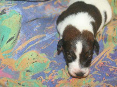 Chiot Fox terrier poil lisse : 1  mâle – femelle 1 246545