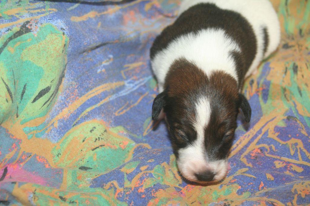 Chiot Fox terrier poil lisse : 1  mâle - femelle 0 246545