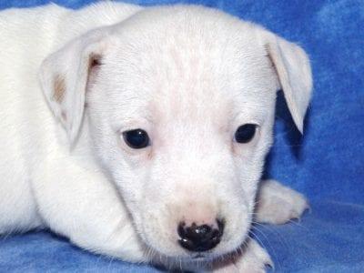 Chiot Jack russell terrier : 2  mâles – femelles 2 241112