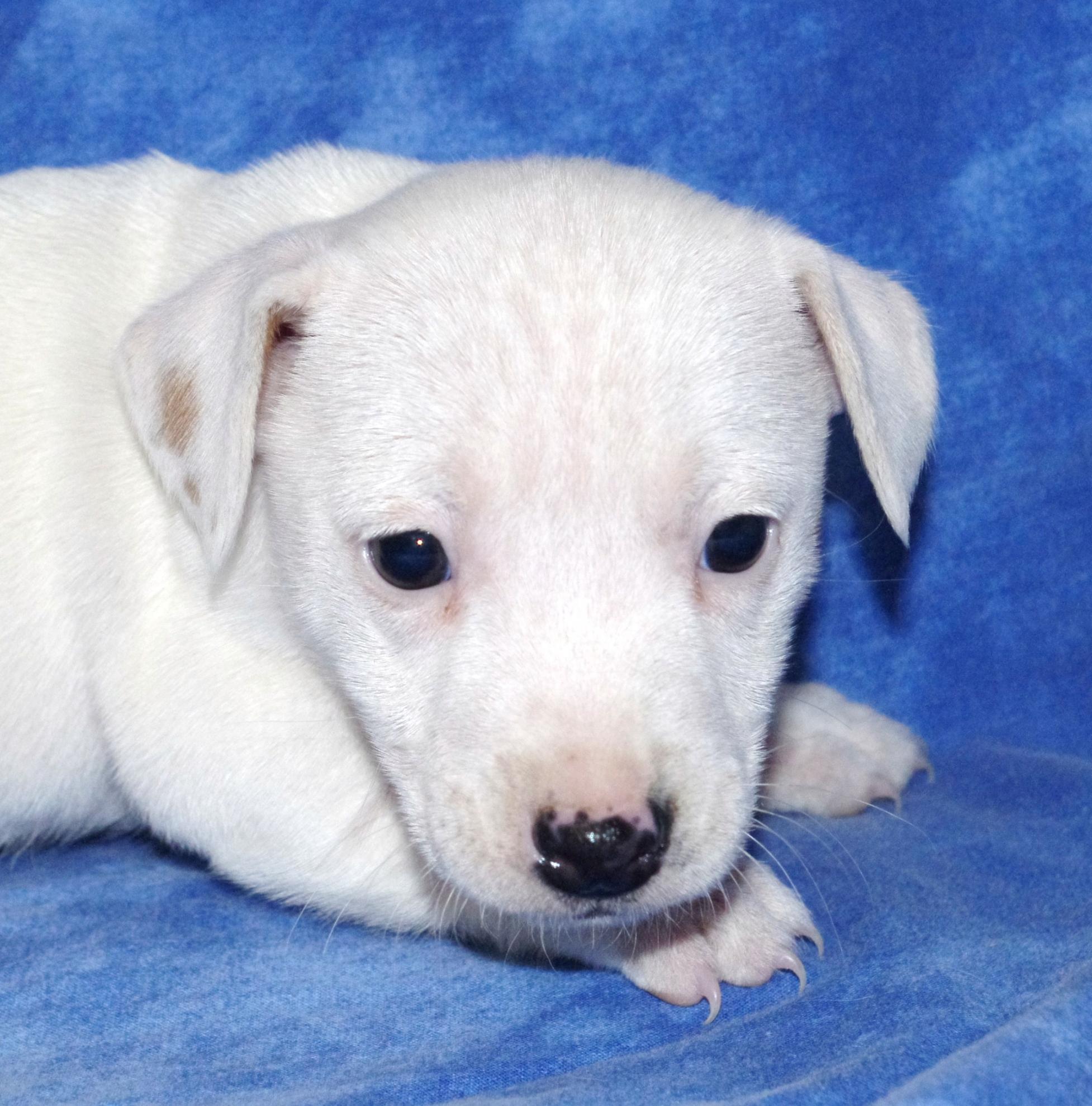 Chiot Jack russell terrier : 2  mâles - femelles 2 241112